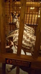 Stramosii girafelor din care s-au diversificat, nu evoluat